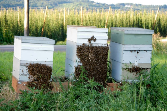The Rogue Farms Honeybees in beard formation to welcome the Beard for the honey harvest in 2013.